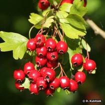 Eingriffeliger Weißdorn (Crataegus monogyna) hat leuchtend rote Früchte (Scheinfrüchte).