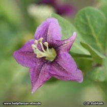 Gemeiner Bocksdorn (Lycium barbarum), Blüte