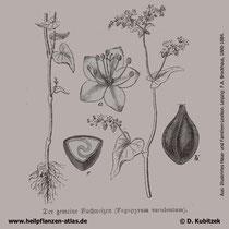 Fagopyrum esculentum, Echter Buchweizen