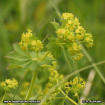 Gewöhnlicher Frauenmantel (Alchemilla vulgaris), Blütenstand