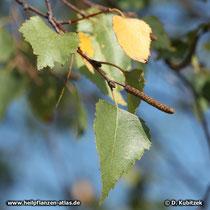 Gewöhnliche Birke (Betula pendula), Blatt