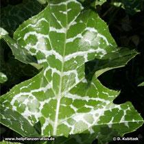 Mariendistel (Silybum marianum), Blatt