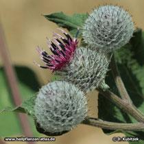 Filz-Klette, Arctium tomentosum, mit blühendem Blütenstand (Blütenkorb)