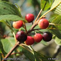 Echter Faulbaum (Frangula alnus; synonym: Rhamnus frangula), Früchte