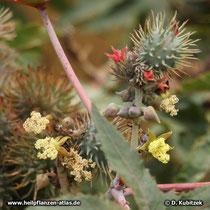 Die männlichen Bllüten von Rizinus (Ricinus communis) sind gelb.