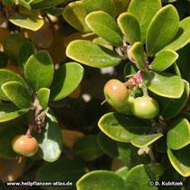 Echte Bärentraube (Arctostaphylos uva-ursi), Fruchtstand mit unreifen Früchten