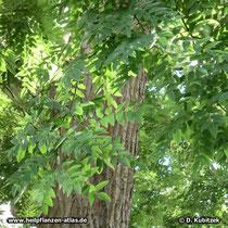 Japanischer Pagodenbaum (Japanischer Schnurbaum, Styphnolobium japonicum, Sophora japonica), Borke