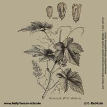 Weinrebe; Vitis vinifera; Historisches Bild