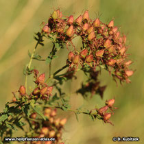 Echtes Johanniskraut (Hypericum perforatum) Fruchtstand im Spätsommer