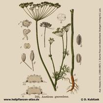 Dill, Anethum graveolens, Historisches Bild
