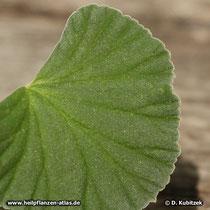 Pelargonium reniforme, Blatt