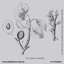 Aprikose, Prunus armeniaca, historisches Bild