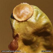 Isländisches Moos (Isländische Flechte): Thallus mit zwei Fruchtkörpern