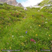 Edelweiß (Alpen-Edelweiß, Leontopodium nivale subsp. alpinum) auf einem artenreichen, felsigen Wiesenhang in den Dolomiten (Italien) auf rund 2.100 m Höhe. Die Edelweiß befinden sich im Bild unten links.
