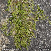 Kahles Bruchkraut (Herniaria glabra) wächt hier in der Spalte der Bordsteinkante