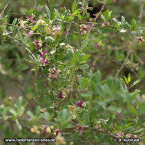 Gemeiner Bocksdorn (Lycium barbarum), Wuchsform