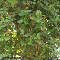 Seifenrindenbaum (Quillaja saponaria), Laub und Balgfrüchte