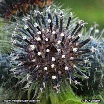 Himalayascharte (Saussurea costus) Blütenstand (Bütenkorb) in Blüte