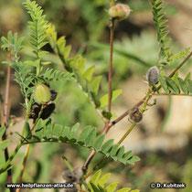 Tragant (Astragalus gummifer)