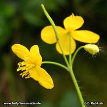Schöllkraut (Chelidonium majus), Blüten