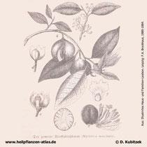 Muskatnussbaum (Myristica fragrans), historische Grafik