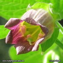 Tollkirsche (Atropa belladonna), Blüte