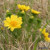 Frühlings-Adonisröschen (Adonis vernalis), Wuchsform