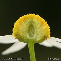 Blütenstand (Blütenkorb) der Echten Kamille: Der Blütenboden ist hohl.
