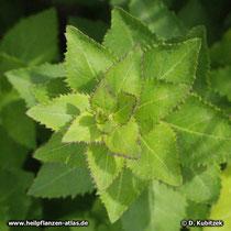 Großblütige Ballonblume (Platycodon grandiflorus), Blätter