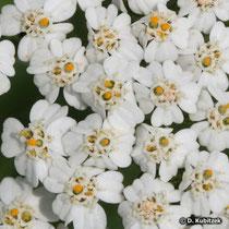 Gewöhnliche Schafgarbe (Achillea millefolium), Blütenköpfe (Blütenkörbe)