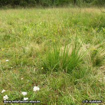 Kleines Habichtskraut (Hieracium pilosella), Standort auf einer Wiese