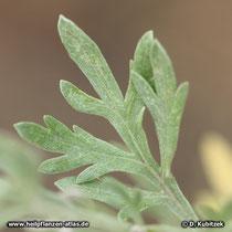 Wermut (Artemisia absinthium), behaartes Blatt