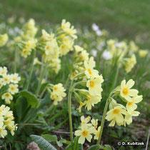 Hohe Schlüsselblume (Primula elatior), Standort Wiese