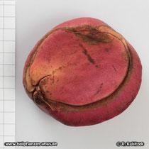 Kolabaum (Cola acuminata), Frucht (Nuss)