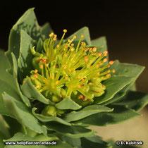Rosenwurz (Rhodiola rosea): Die Blüten sind unscheinbar.