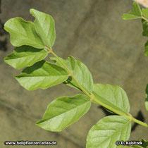 Ural-Süßholz (Glycyrrhiza uralensis), Blätter