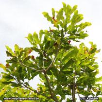 Dreiblütige Macadamianuss (Macadamia ternifolia), Ast