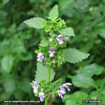 Schwarznessel (Ballota nigra), Blütenstände