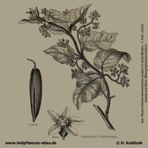 Kondorliane (Marsdenia cundurango)