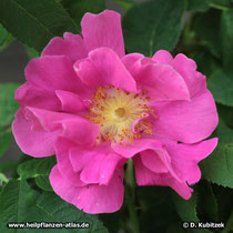 Blüte, Apotheker-Rose, Rosa gallica varietaet officinalis