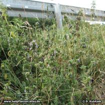 Schwarznessel (Ballota nigra), Standort im Straßengraben