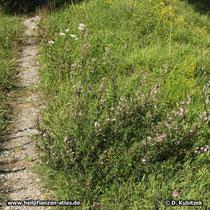 Dornige Hauhechel (Ononis spinosa) Standort