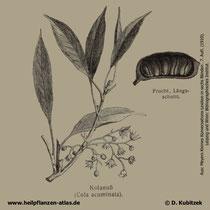 Kolabaum; Cola acuminata; Historische Grafiik