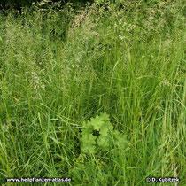 Gewöhnlicher Frauenmantel (Alchemilla vulgaris), Standort