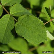 Essig-Rose (Rosa gallica), Blatt