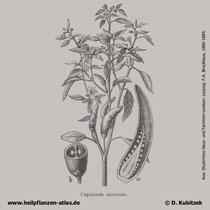 Capsicum frutescens, Cayenne-Pfeffer