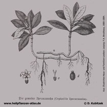 Brechwurzel (Psychotria ipecacuanha), historische Grafik