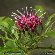 Atractylodes macrocephala (Großköpfige Actractylodes), Blütenstand (Bütenkorb)