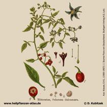 Bittersüßer Nachtschatten, Solanum dulcamara, Historisches Bild