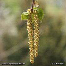 Gewöhnliche Birke (Betula pendula), männliches Blütenkätzchen